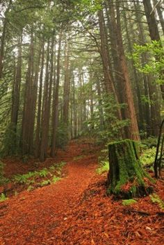 Hiking path through lush temperate rain forest and redwood trees in Northern California