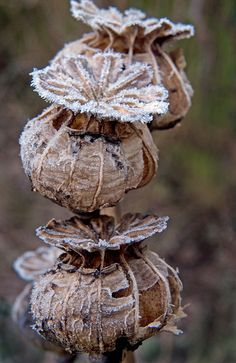 Frosted Poppy Heads by Kenny Boy1, via Flickr