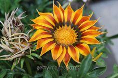 45.Gazania Splendens Kiss Yellow Flame