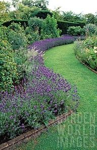 Lavendar border in front of boxwood -- how have I not thought of this before?