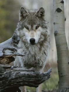 ☀Beautiful Portrait of a Gray Wolf, Canis Lupus Photographic Print|By Jim And Jamie Dutcher