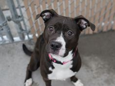 """ROSS - A1061635 - - Brooklyn  TO BE DESTROYED 01/07/16**AVERAGE RATED** A volunteer writes: Ross is an absolute sweetheart! When I approach her cage she comes to the front, but with very submissive body language – feverishly wagging her tail between her legs and almost showing her belly. And cameras might be on her list of """"scary things"""" because when mine came out she curled up into a little ball. While she can be bashful, she also has times where she is v"""