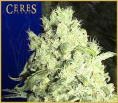 lustrous marijuana flowers... white covered resin buds, super high yielding colas -- an incredibly powerful strain