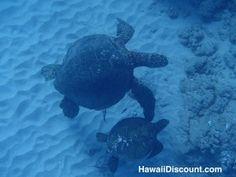 Mom and baby Green Sea Turtles #Oahu #Hawaii #Snorkeling