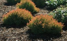 Thuja occidentalis 'Congabe' is a cultivar of Arborvitae, currently marketed as Fire Chief™, patented by Monrovia nursery under USPP Fire Chief™ is a choic… Thuja Occidentalis, Landscaping Plants, Globe Arborvitae, Small Evergreen Shrubs, Landscaping With Rocks, Backyard Landscaping, Conifers, Arborvitae, Flower Landscape