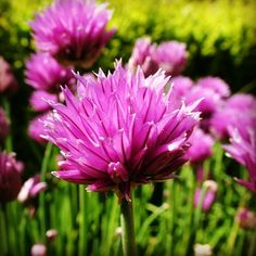 #pink #flower in the #park of #walmercastle #walmer #castle in #dover #kent #england #britain #uk