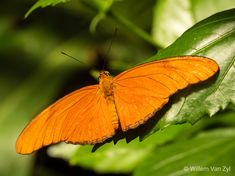 📸🦋 Unidentified Orange Butterfly | Narrative Orange Butterfly, Wildlife Photography, Green Leaves, Orange Color, Insects, Nature, Photos, Outdoor, Outdoors