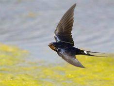 Hirondelle - Barn swallow
