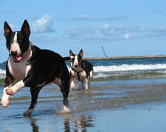 English Bull Terrier Puppy Dog