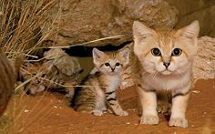 Sand Cat and kittens (Felis margarita) are found in the Sahara.  (Also desert climates in the Middle East and Central Asia.)  -kc