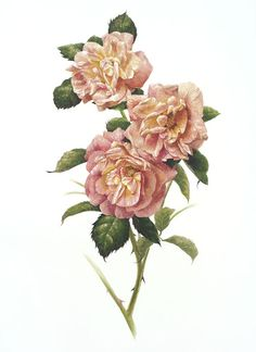 Compassion Rose~~This is a beautiful rose print from a limited edition of The Royal Roses of London Queen Mary's Garden: