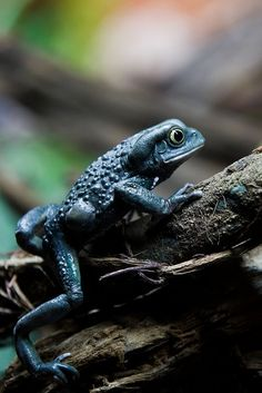 Waxy monkey frog (Phyllomedusa sauvagii) by Sophie L. Miller