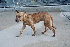 Brooklyn Center TIGRESS - A1009702 FEMALE, Y BRINDLE / WHITE, PIT BULL MIX, 1 yr, 6 mos STRAY - STRAY WAIT, NO HOLD Reason STRAY Intake condition EXAM REQ Intake Date 08/07/2014, From NY 11207, DueOut Date 08/10/2014, https://www.facebook.com/Urgentdeathrowdogs/photos/pb.152876678058553.-2207520000.1407703714./852769094735971/?type=3&theater