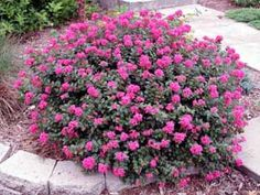 Crape Mrytle Pocomoke: a gorgeous dwarf myrtle that will work well in our plans!  Google Image Result for http://www.aragriculture.org/Images/crapemyrtle_db/pocomoke-flfm-1.jpg