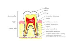 Krótki kurs endodoncji, czyli o co chodzi w tym leczeniu korzenia zęba? Niedawno pisałem, że  stosowanie past do zębów  pogarsza stan...