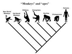 ape phylogeny - Google Search