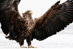Eagle with a keen eye and amazing flight it's easy to see theses birds as messengers of the gods