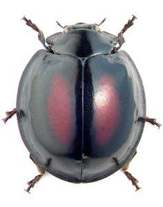 Ladybird beetle, Chilocorus rubidus (photo by M.E. Smirnov)
