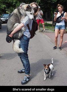 Aw, silly husky!