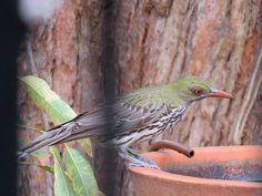 Female Olive-backed Oriole (Oriolus sagittatus) visiting our birdbath today. Water for wildlife is vital in current hot weather. We even had Honey Bees drinking at the birdbath today. Honey Bees, Drinking, Wildlife, Gardens, Weather, Female, Link, Hot, Ancient Greece
