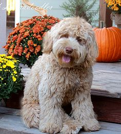Spring Creek Labradoodles... i think I could have full conversations with this guy...
