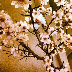 Almond blossoms.