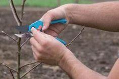 Formarea coroanei la pomii fructiferi este de cele mai multe ori o lucrare destul de grea pentru pomicultorii care nu au multă experiență, cu atât mai mult cu cât primele tăieri sunt esențiale Fruit Trees, Garden Projects, Grape Vines, Flowers, Mai, Gardening, Bungalow, Balcony, Anna