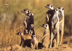 Animal Day  Pick ANY animal and teach kids everything I can find about it.  I am starting with Meerkats!
