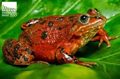 Oregon spotted frog. The U.S. Fish and Wildlife Service has now named this northwest native as federally protected under the Endangered Species Act. (Photo: Ryan Hawk/WPZ)