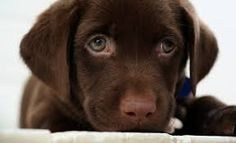 Image result for chocolate labrador with green eyes