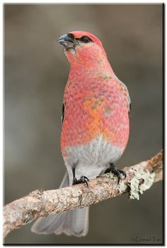 Pink Grosbeak - ©Conrad Tan (500px)