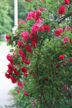 Midsummer Tips for Roses: How to keep rose bushes blooming and healthy all summer. GoGardengo.com has garden tips for caring for roses