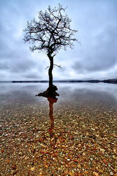 The lone tree at Milarrochy Bay (Scotland)