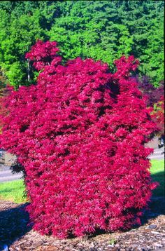 Buchholz and Buchholz Nursery is a wholesale nursery in Gaston, Oregon offering only the finest plants from the best corners of the world. Maple Shade, Flora Farms, Wholesale Nursery, Topiary Garden, Acer Palmatum, Pink Garden, Japanese Maple, Plant Nursery, Growing Tree