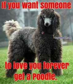 IF YOU WANT SOMEONE TO LOVE YOU FOREVER GET A POODLE