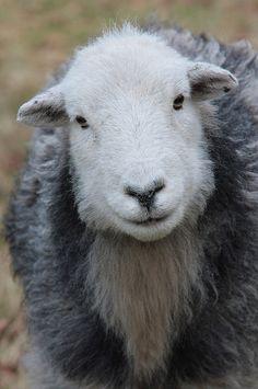 Herdwick Sheep | Flickr - Photo Sharing!