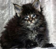 Amibial - hodowla kotów rasowych Maine Coon tttt