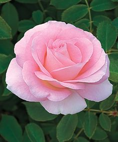 This lightly hued tea rose makes your heart pitter-patter with loving vibes.