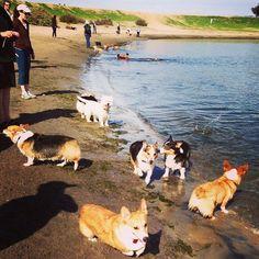 9 rules for a Corgi Meetup on the beach  You are a corgi.