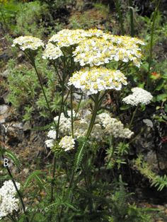 Achillea millefolium - White Yarrow. Fern-like, aromatic, evergreen leaves and white flower clusters. Common Yarrow reaches about 2' high in bloom, and attracts a wide variety of butterflies and beneficial insects. Sun or part shade.