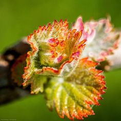 Cabernet Franc Bud in Saumur-Champigny  Wonderful product of nature, unfortunately many of these died because of frost during the last nights.  #cabernetfranc #bud #buds #spring #springtime #saumur #saumurchampigny #loiremillesime #Loire #loirewine #saumur #weinkaiser #Weinreise #winetraveler #winetour #winetourism #winelovers #winelover #vineyard vineyards #naturephotography #photography