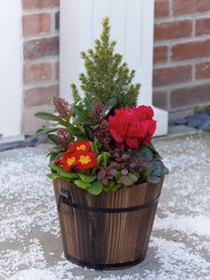 Festive Outdoor Barrel.  Featuring a picea conica, a red cyclamen, skimmia, gaultheria and primula all carefully planted in a decorative wooden barrel.  Not sure the cyclamen will last thru a Wisconsin winter, but would be fun for the holidays.