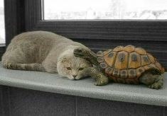 Watch out, turtle! That cat will scratch you to tell you cuddling time is over! Animals And Pets, Baby Animals, Funny Animals, Cute Animals, I Love Cats, Crazy Cats, Cute Cats, Unusual Animals, Animals Beautiful