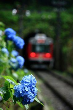 Hydrangea with train, Hakone Tozan Railway, Kanagawa, Japan Red Spider Lily, Turning Japanese, Hakone, Kamakura, Photo Memories, Color Photography, Bokeh, Japan Travel, Hydrangea
