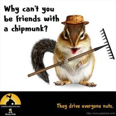 Why can& you be friends with a chipmunk? They drive everyone nuts. Funny Jokes And Riddles, Farm Jokes, Cute Jokes, Dog Jokes, Funny Jokes For Kids, Corny Jokes, Funny Puns, Hilarious, Funny Stuff