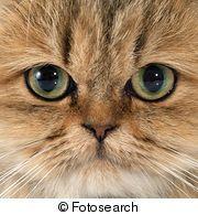 Banco de Imagem - gato persa k22882205 - Busca de Fotografias, Fotografia Mural, Fotos Clipart - k22882205.jpg
