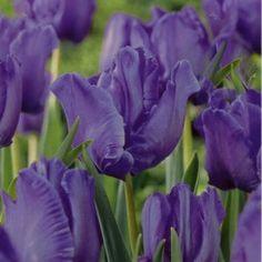 Tulip+Blue+Parrot+(5+bulbs)+£2.95