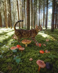 Excellent Screen Bengal Cats suki Style when it comes to just what exactly serves as a Bengal cat. Bengal pet cats are a pedigree type in which o. Baby Animals, Cute Animals, Pretty Animals, Funny Animals, Adventure Cat, Nature Aesthetic, Music Aesthetic, Aesthetic Pictures, Beautiful Creatures