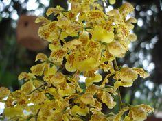 Entre flores: Orquideas autoctonas de Argentina. Oncidium fimbriatum: Epífita con pseudobulbos fusiforme con 1 a 2 hojas, la mitad de ellos pierden las hojas. Flores en ramillete amarillas con lineas rojas, sin flores se puede confundir con el riograndense. Floración enero a abril.