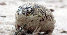 The Desert Rain Frog Makes The Cutest Sound When Angry (Video)